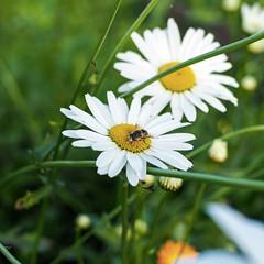 (Alexx053) Tags: microfourthirds closeup natureshot bee flowers em10iii olympus