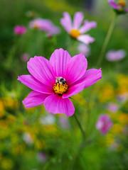 (Alexx053) Tags: flower bee nature em10iii olympus closeup