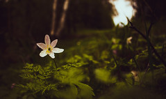 Small flower in the woods (Bjarni53) Tags: flower canon 750d norway akershus green yellow sunset summer backround colors coulors focus blurry wall art artistic kit kitlense leafs trees woods relaxing walk path alive whiteflower walking pathway forest scandenavia north northen beauty