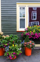 City Garden (Karen_Chappell) Tags: city urban house home flowers window nfld stjohns downtown rowhouse jellybeanrow red green reflections canada canonef24105mmf4lisusm newfoundland atlanticcanada eastcoast avalonpeninsula trim wood wooden paint painted clapboard architecture flower floral nature street sidewalk yellow pink building color colour colors colours colourful multicoloured