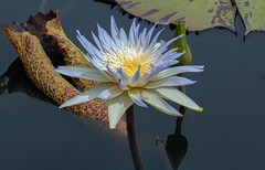 This World (12bluros) Tags: tropical pond waterlily flower flora floral nature water canonef100mmf28lmacroisusm reflections