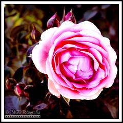 Pink Rose (jose_miguel) Tags: jose miguel rigotag españa spain espagne panasoniclumixfz50 panasonic lumix marruecos maroc morocco marrakesh marrakech marraquech flor flower fleur rosa rose rosier pink lomo color colour couleur contraste contrast