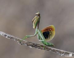 Con las alas abiertas (JoseQ.) Tags: macro macrofotografia insecto bicho animal mantis alasabiertas alas colores apilado