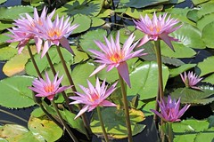 water lilies. (salsol - Sham'C ♈) Tags: botanicgardens porto portugal jardimbotânicodoporto waterlilies lily flowers flora water europe dublin colour flower travel garden beauty beleza nature pink life