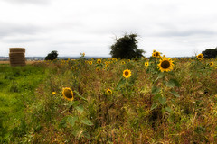 IMG_0464 (adgephoto01) Tags: sunflower haystack countryside