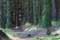 Out in the forest (Dave Russell (1.5 million views thanks)) Tags: isle island arran west western scotland ecosse clyde forest forrest tree trees nature wood woods outdoor machrie canon eos eos7d 7d photo photograph photography moss colour color colors colours
