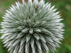 Echinops..... Macro of a blue thistle.......still in the green stage. (gilberteplessers) Tags: