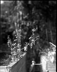 early september (salparadise666) Tags: nagaoka 4x5 schneider symmar 210mm wide open fomapan 200 caffenol cl 15min nils volkmer large format view camera analogue film plant bw black white monochrome bokeh dof vertical garden