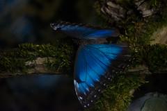 Blue morpho. (Azariel01) Tags: 2019 antwerpen belgique belgium zoo papillon butterfly morpho morphopeleides morphobleu bluemorpho emperor empereur macro closeup insecte insect