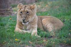 one of the youngsters (sigridspringer) Tags: natur tiere säugetiere raubtiere raubkatzen afrikanlöwen diergaarde blijdorp