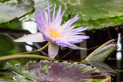 Purple Water Lily (_chloechappell) Tags: purple waterlily macro bokeh flower