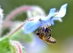 honey bee on borage (conall..) Tags: borage boragoofficinalis starflower nikon afs nikkor f18g lens 50mm prime primelens nikonafsnikkorf18g closeup raynox dcr250 macro county down tullynacree nw551041 annacloy garden northernireland bee honeybee apis mellifera apismellifera pollination flower