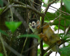 Squirrel Monkey (RosePerry1107) Tags: wildlife wildlifephoto wildlifephotography wildlifelover wildlifelovers monkey squirrelmonkey naturephotography nikon nikon500mmpf nikonz6 costarica osapeninsula