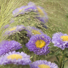 Carré d'asters **---+°--° (Titole) Tags: purple squareformat reinemarguerite asterdechine eragrostisspectabilis perpetualchallenge gamewinner thechallengefactory