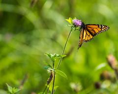 Monarch Butterfly? (Kuby!) Tags: kubitschek kuby nikon d810 september 2019 outdoors nature springfield mo missouri monarch butterfly clover flower