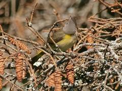 American Redstart Female, Mackworth Island (Bill Bunn) Tags: americanredstart falmouth maine