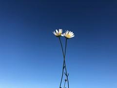 Iph8085 (gzammarchi) Tags: italia paesaggio natura pianura campagna ravenna borgomontone fiore margherita coppia poesia haiku