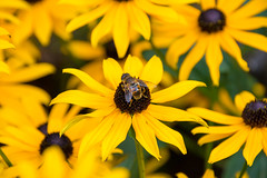 Yellow on yellow. (Azariel01) Tags: 2019 antwerpen belgique belgium zoo insecte insect abeille bee butine gathers fleur flower yellow jaune