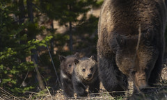 Bear Family (agnish.dey) Tags: wildlife wilderness bear brownbear grizzlybear grandtetonnationalpark yellowstone gtnp wyoming nature naturallight naturephotograph nikon naturethroughthelens nationalpark d500 coth animalplanet cubs