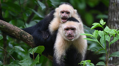 White-faced Capuchin (RosePerry1107) Tags: wildlife wildlifephoto wildlifephotography wildlifelover naturephotography monkey costarica osapeninsula nikon nikonz6 nikon500mmpf whitefaced capuchin