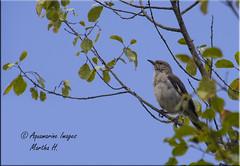 A young Female Mockingbird (Aquamarine Images) Tags: mockingbird femalemockingbird bird usabirds aquamarineimages coth5