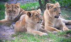 Lion chrildren (sigridspringer) Tags: natur tiere säugetiere raubtiere raubkatzen löwengeschwister diergaarde blijdorp rotterdam