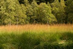 Douces couleurs de fin d'été (Gisou68Fr) Tags: tourbière ngc machais vosges france paysage bouleaux herbe grass montagne bog birch
