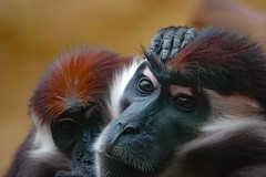 My love is your love (Paul wrights reserved) Tags: monkey monkeys colchesterzoo zoo beautiful beauty closeup close face head love cute grooming groomingmonkeys colour colourful animal animals animalantics animalportrait portrait portraitphotography couplesportrait excapture