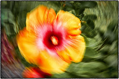 Hibiscus Abstract (peterrath) Tags: flower plant color kauia hawaii hibiscus abstract creative green yellow red canon camera eos 5dsr closeup icm
