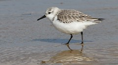 Sanderling 110319 (1) (Richard Collier - Wildlife and Travel Photography) Tags: birds wildlife naturalhistory nature sanderling