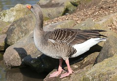 Greylag Goose 240219 (4) (F) (Richard Collier - Wildlife and Travel Photography) Tags: birds wildlife naturalhistory nature greylaggoose