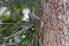 Picchio cenerino. Grey-headed woodpecker (silvano fabris) Tags: wildlifephotography nature birds uccelli animals greyheadedwoodpecker picchiocenerino