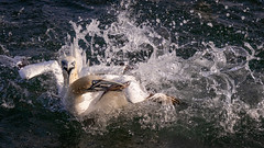 Gannet food fight (Sueyork58) Tags: yorkshire fight seabirds bemptoncliffs fishing gannets wildlife ycnboattrips