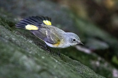 American Red Start (Female) (Ben-ah) Tags: park bird female forest centralpark ramble warblers americanredstart yellowfantail newyork manhattan wildlife