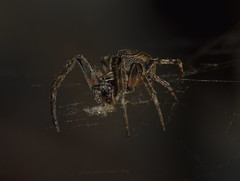 Nothing Goes to Waste (Robin Shepperson) Tags: spider spiders orbweaver web silk eating consume consuming dark legs eyes hungry berlin germany deutschland nikon tamron 70300m night nature wildlife bokeh