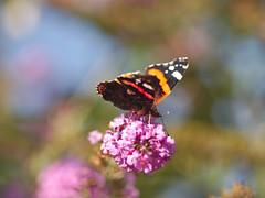 _IGP5035_01 (johan262) Tags: pentax k5ii sigma 105mm f28 macro butterfly atalanta buddleja