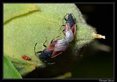 Punaise du tilleul (Oxycarenus lavaterae) (cquintin) Tags: arthropoda heteroptera lygaeidae oxycarenus lavaterae macroinsectes