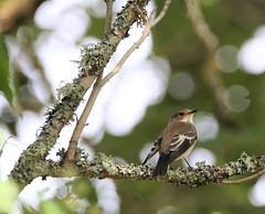 Gobemouche noir (chriscrst photo66) Tags: canon gironde ornithology ornithologie wildlife nature photography photographie gobemouchenoir passereau oiseau animal bird