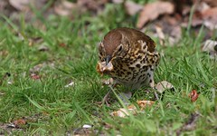 Song Thrush 250419 (5) (Richard Collier - Wildlife and Travel Photography) Tags: birds wildlife naturalhistory nature songthrush naturethroughthelens
