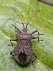 _IMG9804 Dock Bug - Coreus marginatus (Pete.L .Hawkins Photography) Tags: dock bug coreus marginatus petehawkins petelhawkinsphotography petelhawkins petehawkinsphotography 150mm macro pentaxpictures pentaxk1 petehawkinsphotographycom rotherhamphotographer irix f28 11 fantasticnature fabulousnature incrediblenature naturephoto wildlifephoto wildlifephotographer naturesfinest unusualcreature naturewatcher minibeast tiny creatures creepy crawly wildlife insectphoto bugphoto insect invertebrate 6legs compound eyes uglybug bugeyes fly wings eye veins