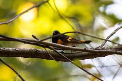 American Red Start (Male) (Ben-ah) Tags: male bird centralpark ramble americanredstart blackandorange wildlifephotography warbler wildlife
