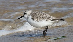 Sanderling 110319 (2) (Richard Collier - Wildlife and Travel Photography) Tags: birds wildlife naturalhistory nature sanderling