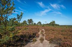 Late summer days (fotosforfun2) Tags: surrey thursley commomland common heath heathland purple heather tree sky cloud landscape beautiful walk public foliage barren quiet blue green