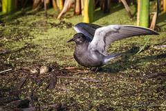Black Tern (Turk Images) Tags: aspenparkland blacktern chlidoniasniger alberta blte birds edmonton laridae terns