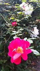 Luculia pinceana (sftrajan) Tags: sanfranciscobotanicgarden flower september luculiapinceana rubiaceae himalayanplants sanfrancisco 2019 jardínbotánico jardinbotanique fleur