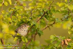 House Sparrow (Wildlifestudios) Tags: housesparrow wildlifestudios craigrichardson wildlife bird dorset