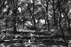 Teaching Theater (Gene Ellison) Tags: plants trees vines shrubs wild foliage leaves woods stones steps amphitheater nature photography naturephotography blackwhitephotos bw fujifilm acros sooc