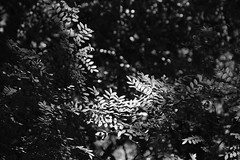 Sunlit Shrubs (Gene Ellison) Tags: plants trees vines shrubs wild foliage leaves woods nature photography naturephotography blackwhitephotos bw fujifilm acros sooc