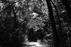 Ghost Over The Tree Tunnel (Gene Ellison) Tags: plants trees vines shrubs wild foliage leaves woods bagworm web nature photography naturephotography blackwhitephotos bw fujifilm acros sooc