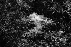 Bagworm Ghost BW (Gene Ellison) Tags: plants trees vines shrubs wild foliage leaves woods bagworm web nature photography naturephotography blackwhitephotos bw fujifilm acros sooc